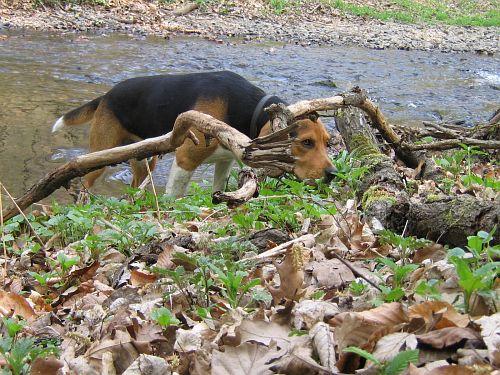 freitagshundebild von beagle rüdiger